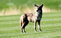Видеохит: В Калифорнии появились койоты-гольфисты