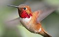 Ученые рассказали, до скольки умеют считать колибри
