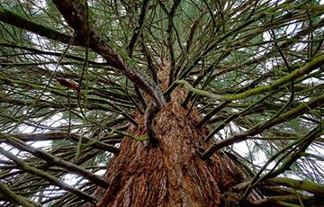 Ученые обнаружили дерево возрастом 110 миллионов лет