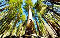 Навукоўцы: У Еўропе могуць з'явіцца дагістарычныя дрэвы-гіганты