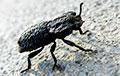 Ученые раскрыли секрет самого прочного жука на Земле