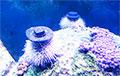 Домашних морских ежей научились успокаивать шляпами