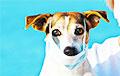 Первый случай COVID-19 у собаки зарегистрирован в Латвии