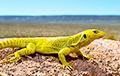 Ученые рассказали о необычном рекорде ящериц из Южной Америки