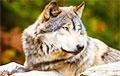 Ученые открыли 16-тысячелетних волков и узнали, как их «превратили» в собак