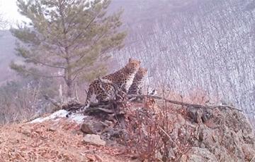 Видеоловушка сняла самку самого редкого в мире леопарда с тремя детенышами