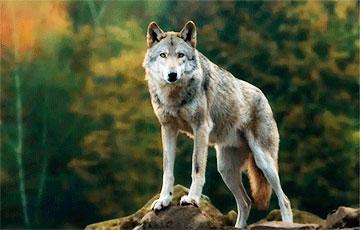 Ученые с помощью камеры-ошейника открыли необычные способности волков