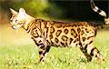 Под Минском бродит один из самых дорогих в мире котов