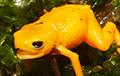 Биологи открыли новый вид миниатюрных светящихся жаб