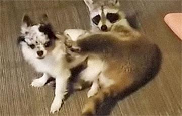 Видеохит: Енот и собака устроили дома «бои» MMA