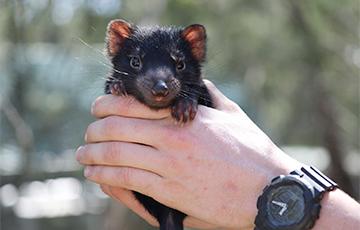 Наматериковой части Австралии впервые за3000 лет родились редкие сумчатые0