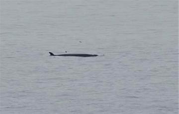Редкого 15-метрового кита заметили у берегов Шотландии0