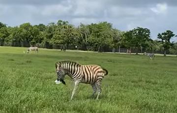 Видеохит: Зебра похитила ведро с угощениями у посетителей зоопарка