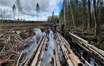 По всей Беларуси продолжается массовая вырубка леса