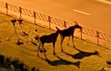 По Гомелю ночью гуляют лоси