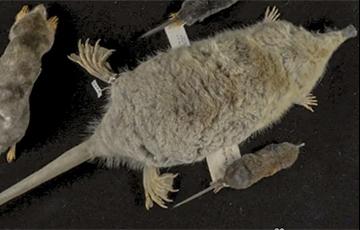 Биологи узнали секрет самых маленьких ныряющих млекопитающих в мире