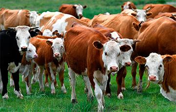В Гомеле с выставки сбежали коровы