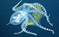 В Тихом океане сфотографировали «стеклянного» осьминога