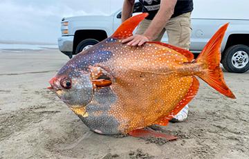 В США на пляже нашли редкую гигантскую рыбу