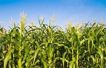 Пенсионер пошел в магазин, срезав через кукурузное поле, и заблудился