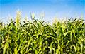 Пенсіянер пайшоў у краму, зрэзаўшы праз кукурузнае поле, і заблукаў