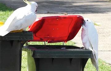 Австралийские попугаи научились действовать сообща