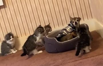 Видеохит: Четверо котят зажали в углу удивленного пса