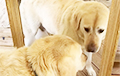 Видеохит: Пес увидел в зеркале своего злейшего врага