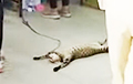 Видеохит: Ленивый кот повеселил покупателей, пришедших в зоомагазин