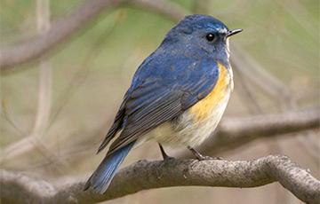 Новый вид: на севере Беларуси обнаружили «синюю птицу»