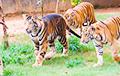 Раскрыта тайна черных тигров из биологического парка Нанкандан
