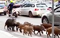 Видеофакт: По улицам Рима бродят дикие кабаны