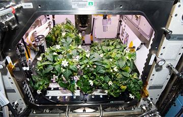Астронавты NASA впервые вырастили перец на МКС