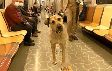 Пес из Стамбула, который сам ездит на городском транспорте, стал звездой Сети