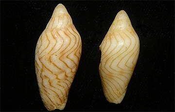 В музее Австралии случайно нашли редкого моллюска