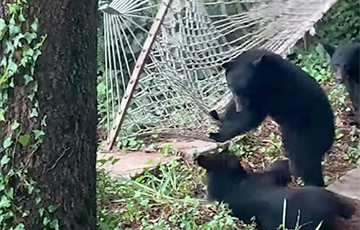 Детеныши медведя, решившие покачаться в гамаке, стали звездами Сети