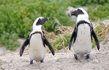 Ученые расшифровали говор африканских пингвинов