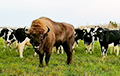 В Глубокском районе зубр прибился к стаду коров