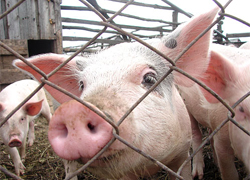 Mass pig slaughter near Minsk?