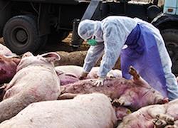 Последствия ЧП под Барановичами: на Брестчине закрывают свинофермы