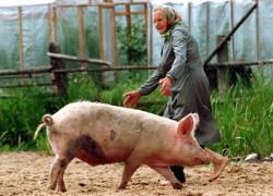 Peasants take axes and pitchforks to protect pigs from vet inspectors
