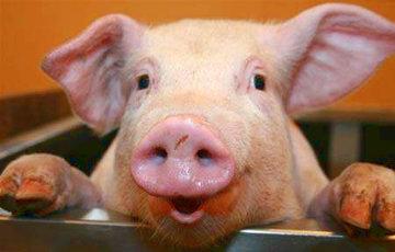 Молодеченские власти официально разрешили строить свинокомплекс Чижа
