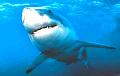 Навукоўцы адкрылі самую вялікую святлівую акулу