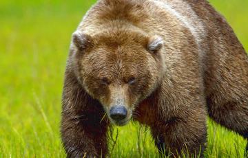 Медведь из Беларуси перешел границу с Литвой и попал в объектив камеры