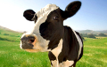 Lukashenka Gets Cow For Private Household As Gift