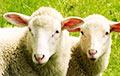 В Нидерландах хотят использовать овечью шерсть в строительстве