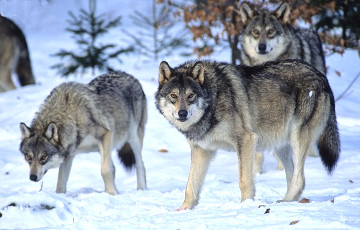 Ученые выяснили, что помогло волкам пережить ледниковый период