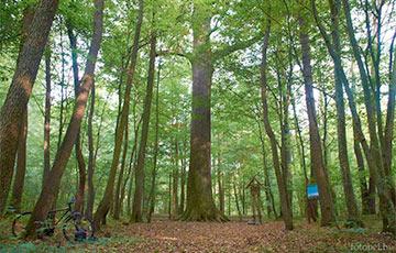 Ученые составляют базу редких и уникальных деревьев Беларуси