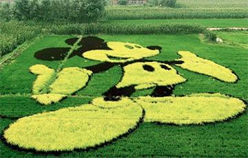 Гигантские 3D-картины появились на рисовых полях в Китае