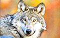 Видеофакт: Волки удивили ученых своим поведением